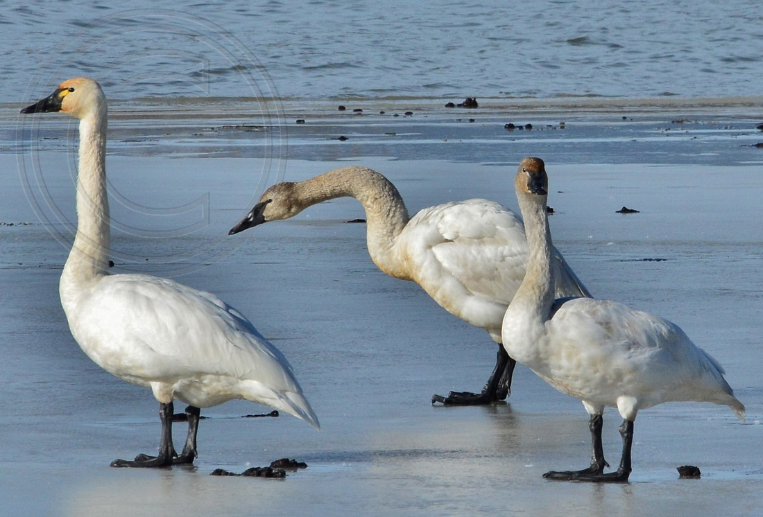 Swans during migration