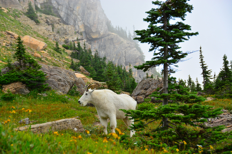 Moutain Goat comes out of the fog